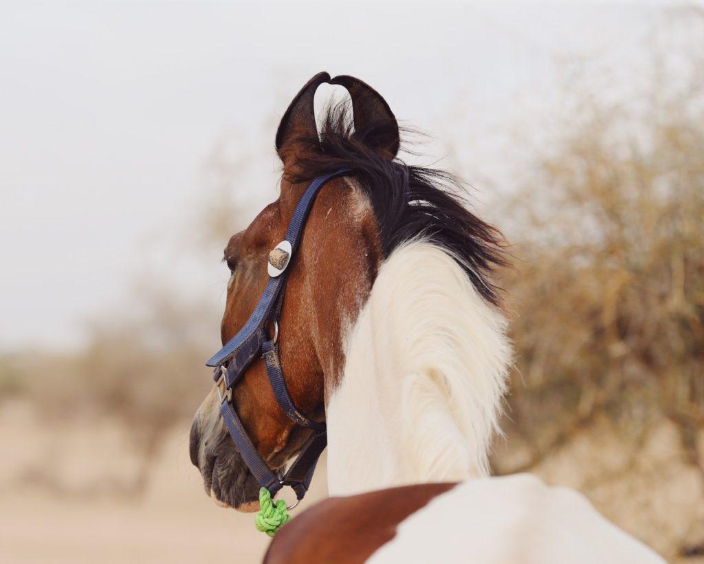 Marwari Horse Ears Naturally Curled Ears Of This Breed Mahima Rides